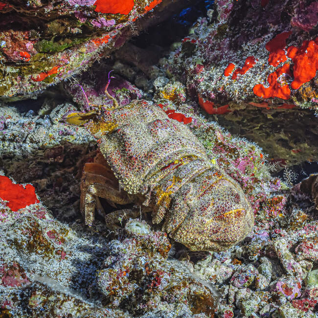 Ridgeback Slipper Lobster (Scyllarides haanii) hiding in its lair between lava rocks on Molokini Crater's backwall offshore of Maui; Molokini Crater, Maui, Hawaii, United States of America — Stock Photo