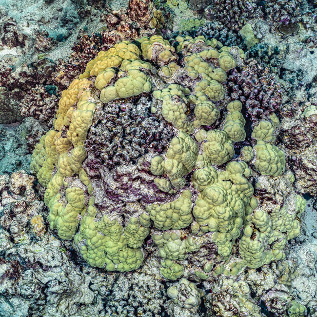 Annular band of live Lobe Coral (Porites lobata) growing over dead corals off the Kona coast, the Big Island; Island of Hawaii, Hawaii, United States of America — Stock Photo