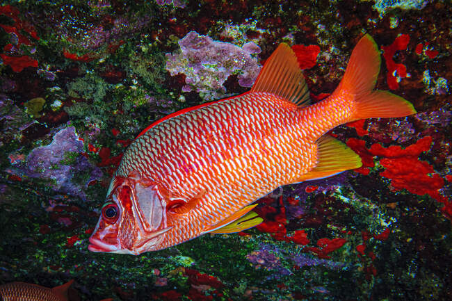 Saber Squirrelfish (Sargocentrum spiniferum) at the backwall of Molokini Crater; Molokini Crater, Maui, Hawaii, United States of America — Stock Photo