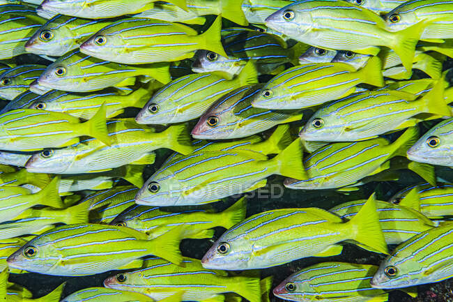 Dense school of Bluestripe Snappers (Lutjanus kasmira) at a Maui, Hawaii, USA. Molokini Crater, Maui — Stock Photo