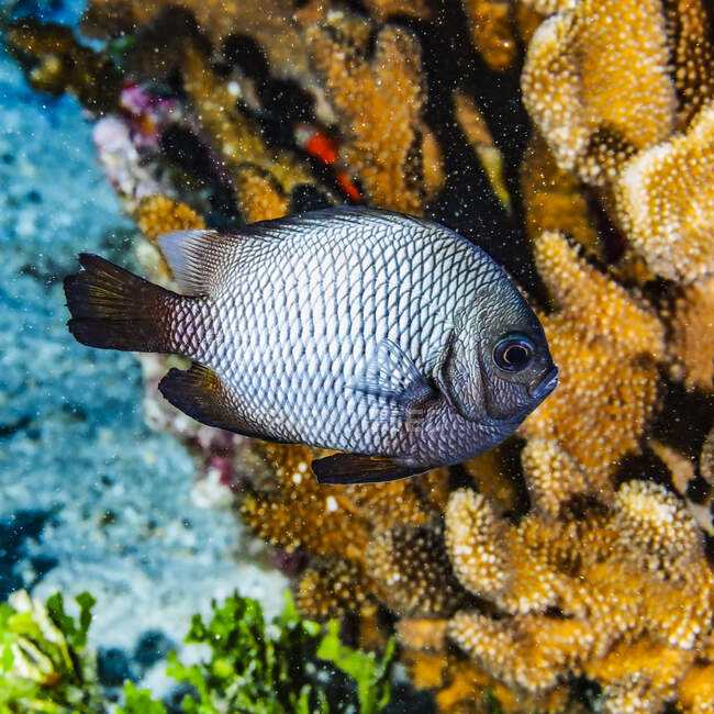 The Hawaiian Dascyllus (Dascyllus albisella) is a Hawaiian endemic fish species. This example was photographed under water while scuba diving near Maui; Molokini Crater, Maui, Hawaii, United States of America — Stock Photo