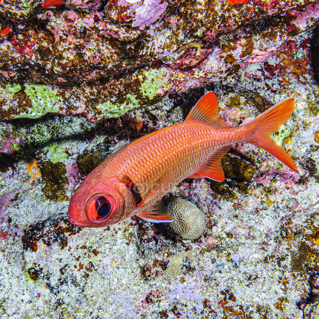 A Pearly Soldierfish (Myripristis kuntee) under water while scuba diving at Molokini Crater which is located offshore of Maui; Molokini Crater, Maui, Hawaii, United States of America — Stock Photo
