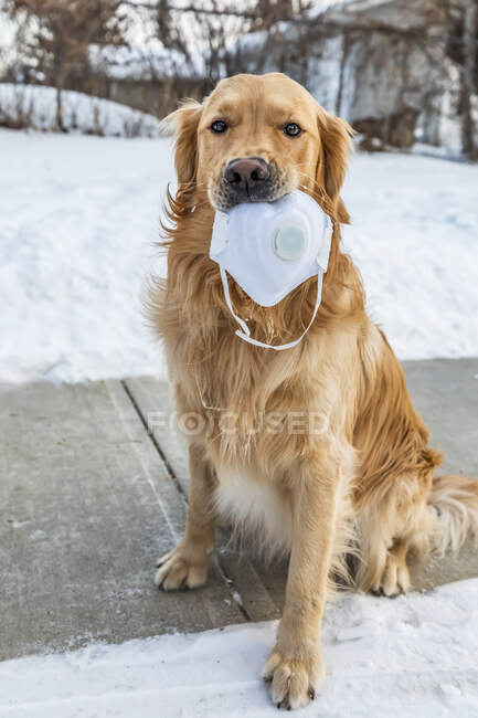 A dog sitting on a sidewalk holding a face mask in mouth during the Covid-19 world pandemic; Edmonton, Alberta, Canada — Stock Photo
