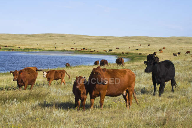 Livestock - Mixed breeds of beef cows and calves on native prairie along the edge of a prairie lake / Alberta, Canada. — Stock Photo