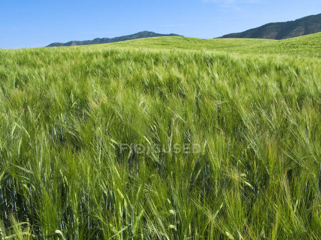 Agriculture concept. Sloping field of maturing green Spring barley, Idaho, USA. — Stock Photo