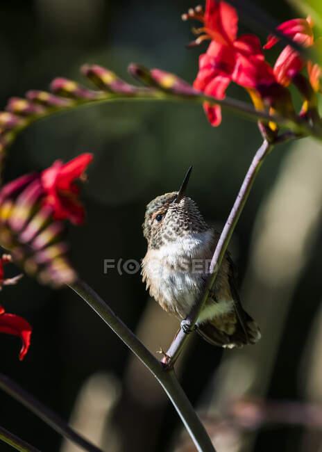 Colibrí rufo hembra (Selasphorus rufus) posado sobre una flor; Astoria, Oregon, Estados Unidos de América - foto de stock