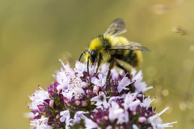 A Bumble Bee (bombus) working oregano blossoms in a garden; Astoria, Oregon, United States of America - foto de stock