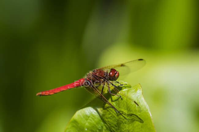 Red Meadowhawk Libélula posada sobre una hoja de Wapato; Astoria, Oregon, Estados Unidos de América - foto de stock