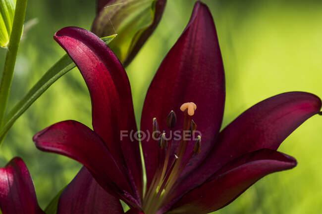 Los lirios asiáticos aportan un gran color al jardín; Astoria, Oregon, Estados Unidos de América - foto de stock