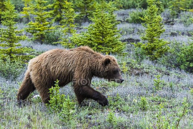Grizzly Bear (ursus arctos horribilis) along the Alaska Highway corridor; Yukon, Canada — Stock Photo