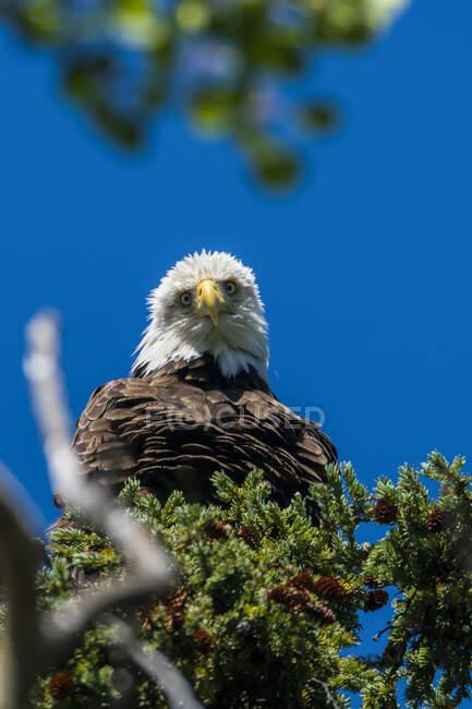 Águila calva (Haliaeetus leucocephalus) posada en un árbol contra un cielo azul; Yukón, Canadá - foto de stock