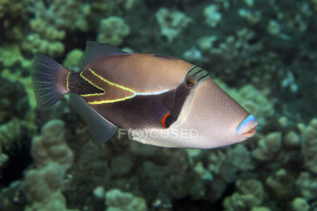 A close-up underwater view of a Reef Triggerfish (Rhinecanthus rectangulus); Wailea, Maui, Hawaii, United States of America — Stock Photo
