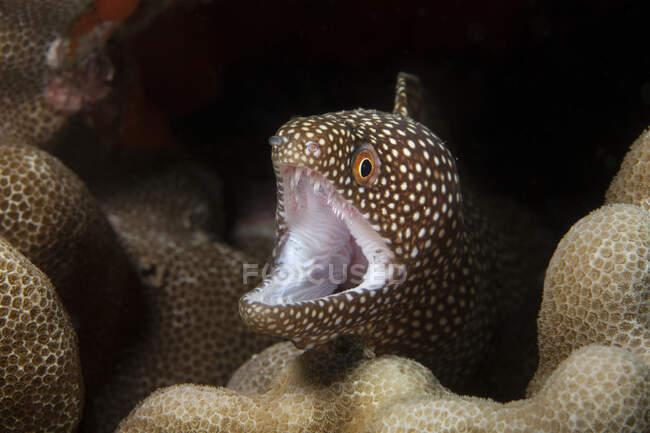 Una vista de cerca bajo el agua de una anguila morena de boca blanca (Gymnothorax meleagris); Wailea, Wailea, Maui, Hawaii, Estados Unidos de América - foto de stock
