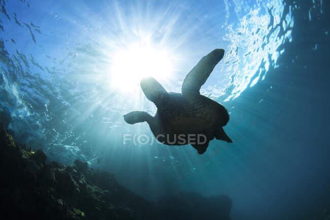 An underwater view of a Hawaiian Green Sea Turtle (Chelonia mydas); Makena, Maui, Hawaii, United States of America — стокове фото