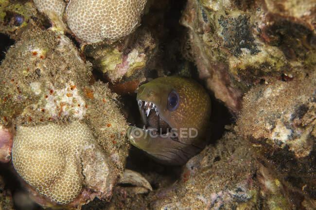 Una vista de cerca bajo el agua de una anguila Moray Yellowmargin (Gymnothorax flavimarginatus); Wailea, Maui, Hawaii, Estados Unidos de América - foto de stock