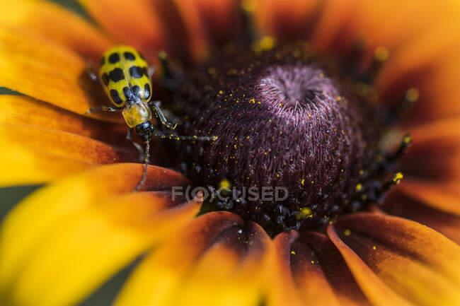 Uno scarabeo cetriolo (Diabrotica indecimpunctata) che esplora una Susan dagli occhi neri (Rudbeckia hirta) in un giardino fiorito; Astoria, Oregon, Stati Uniti d'America — Foto stock