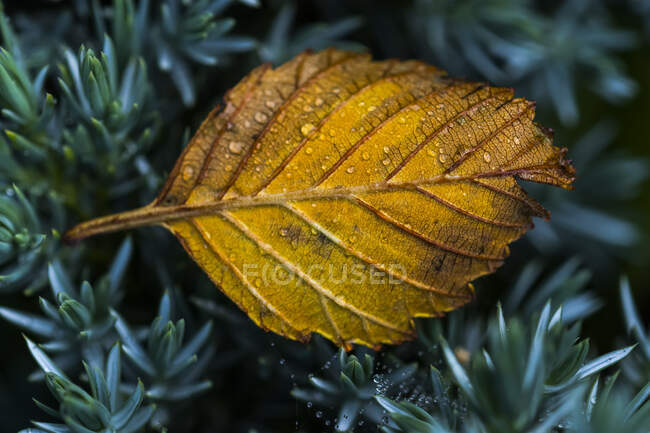 Ein in einen Blumengarten gefallenes Erlenblatt; Astoria, Oregon, Vereinigte Staaten von Amerika — Stockfoto