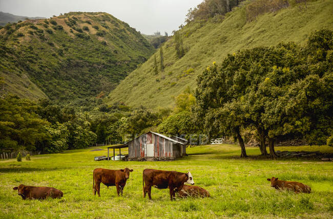 Brown cows in a grassy field with farm building, tropical trees and misty mountains; Pauwalu, Molokai, Hawaii, United States of America — Stock Photo
