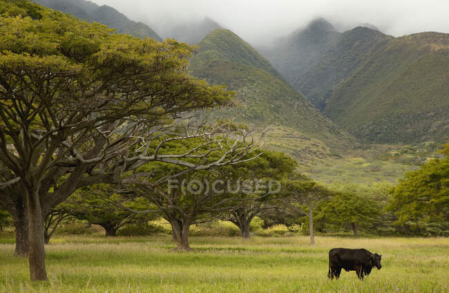 Single black angus cow in a grassy field with tropical trees and misty mountains; Pauwalu, Molokai, Hawaii, United States of America — Stock Photo