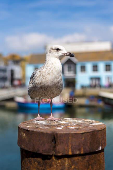 Un gabbiano seduto su un palo di metallo arrugginito sul lungomare; Weymouth, Dorset, Inghilterra — Foto stock