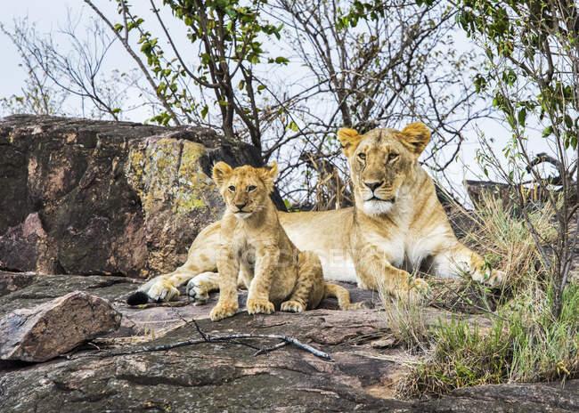 Leonessa (Panthera leo) e cucciolo, Serengeti; Kenya — Foto stock