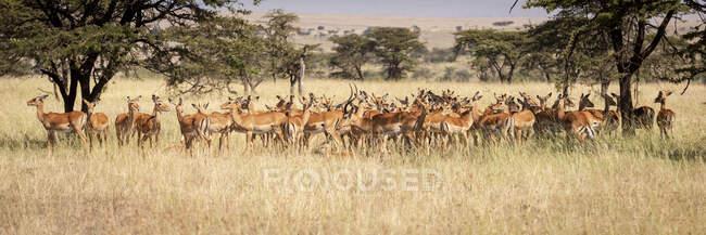 Panorama delle impale femminili (Aepyceros melampus) in piedi nell'erba, riserva nazionale di Maasai Mara; Kenya — Foto stock
