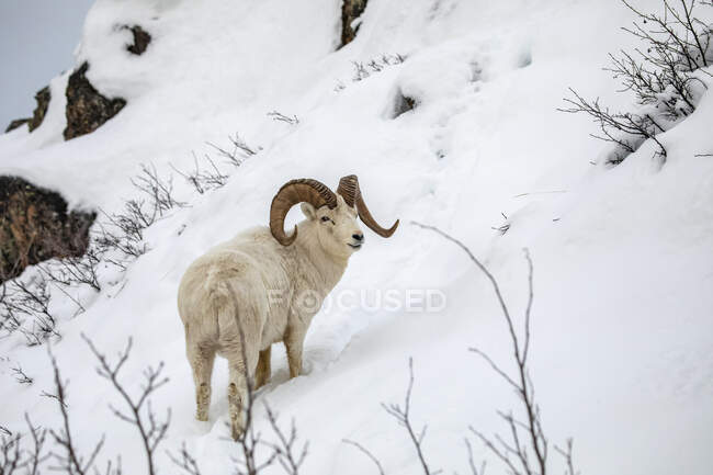 Dall sheep (Ovis dalli) ram roaming and feeding in the Windy Point área near the Seward Highway during the snowy winter months; Alaska, United States of America - foto de stock