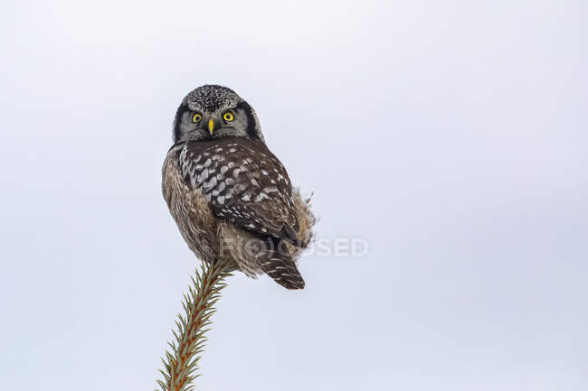 Northern Hawk Owl (Surnia ulula), known for sitting on the highest perch possible while looking for prey such as voles moving below. South-central Alaska; Anchorage, Alaska, United States of America — Stock Photo