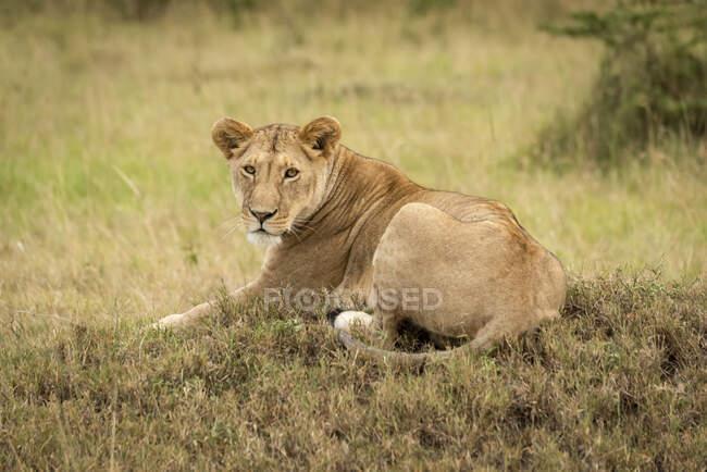 Leonessa (Panthera leo) adagiata su un basso tumulo di telecamere, Parco Nazionale del Serengeti; Tanzania — Foto stock
