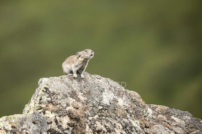 A Collared Pika (Ochotona collaris) vicino Pikas per avvisarli di un possibile pericolo o semplicemente per comunicare con gli altri. — Foto stock