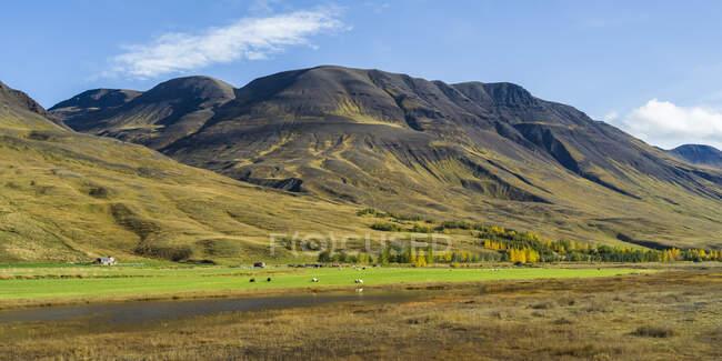 Sheep (Ovis aries) grazing on lush farmland with mountains in the background; Blonduos, Northwestern Region, Iceland — Stock Photo