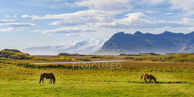 Horses (Equus Caballus) grazing in a grass field with the majestic mountains in the background, Eastern Iceland; Hornafjorour, Eastern Region, Iceland — Stock Photo