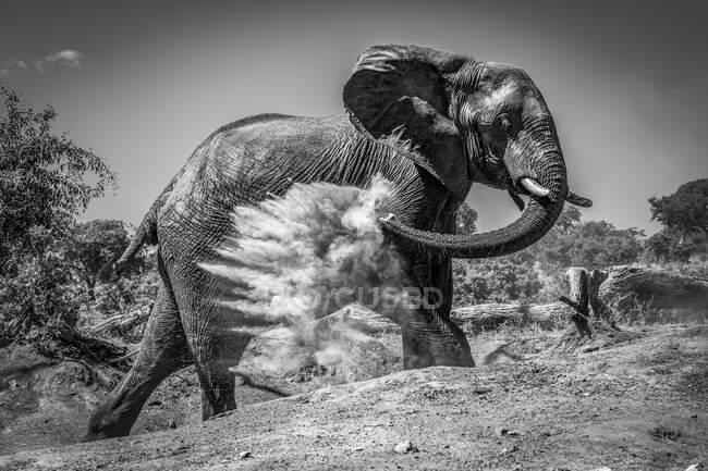 Африканский слон (Loxodonta africana) бросает пыль на себя своим стволом на склоне голой земли с деревьями на заднем плане под ясным небом. — стоковое фото