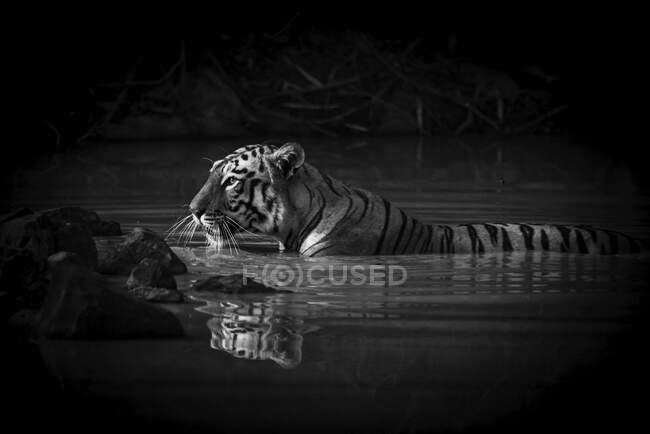 Бенгальская тигрица (Panthera tigris tigris) с фонариком в глазу, лежащим по шею в темноте водоёма. — стоковое фото