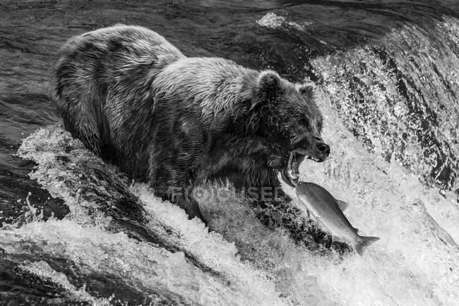 Бурый медведь (Ursus arctos) собирается поймать лосося во рту на вершине Брукс-Фолс, Аляска. Кодиак, Аляска, Соединенные Штаты Америки — стоковое фото