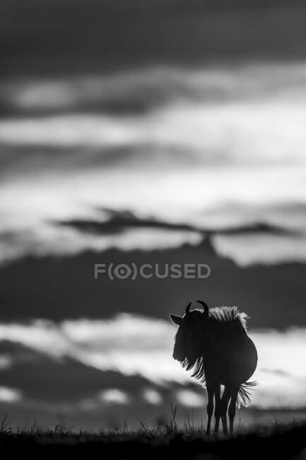Гну (Connochaetes taurinus) на горизонте силуэт против неба на закате, Серенгети; Танзания — стоковое фото