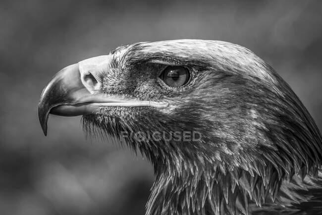 Primo piano della testa di un'aquila reale (Aquila chrysaetos) con un riflettore negli occhi in pieno sole su uno sfondo erboso sfocato. Battle Abbey; Battle, East Sussex, Inghilterra, — Foto stock