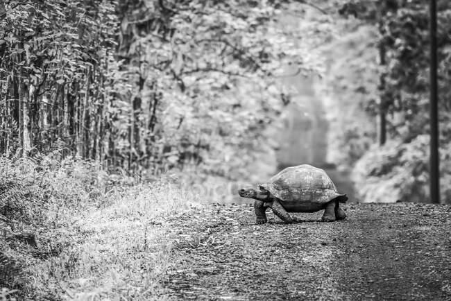 Галапагосская черепаха (Geochelone nigrita) медленно летит по длинной прямой грунтовой дороге. Галапагосские острова — стоковое фото
