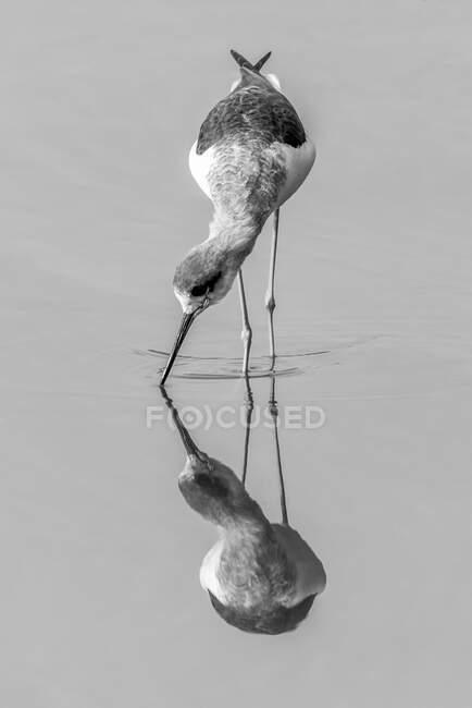Незрелый чернокрылый ходуль (Himantopus himantopus) с клювом в воде, проходящим через мелководье совершенно спокойного озера, с собственным отражением. Национальный парк Рантхамбор в Индии; Раджастан, Индия — стоковое фото