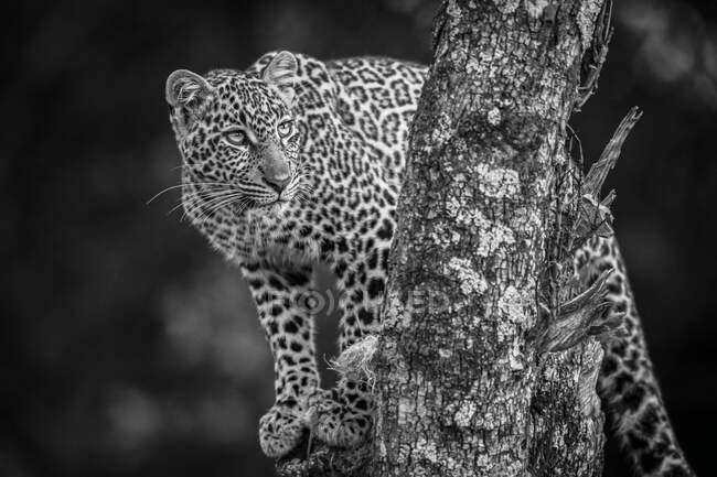 Un leopardo (Panthera pardus) in piedi su un albero ricoperto di licheni. Masai Mara; Kenya — Foto stock