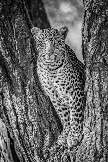 Леопард (Panthera pardus) сидит в вилочном стволе дерева. Национальный парк Серенгети; Танзания — стоковое фото