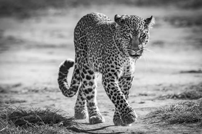 Леопард (Panthera pardus) идет к камере по песчаной дорожке. Масаи Мара; Кения — стоковое фото
