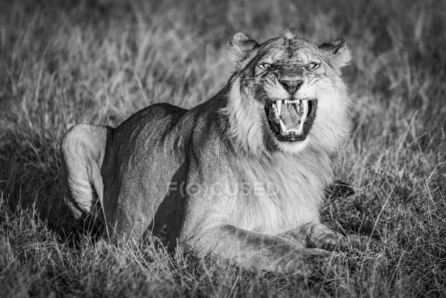 Мужчина лев (Panthera leo) показывает реакцию фламандцев, открывая свой рот широко ревущим. Национальный парк Серенгети; Танзания — стоковое фото