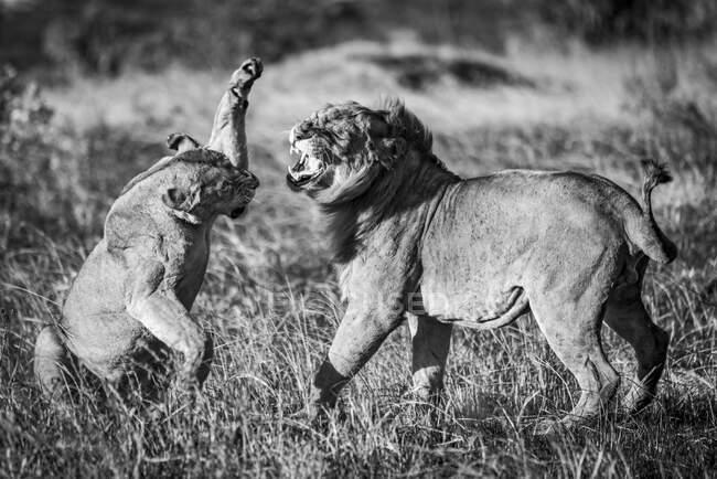 Львица (Panthera leo), ударяющая самца льва лапой после спаривания. Серенгети; Танзания — стоковое фото