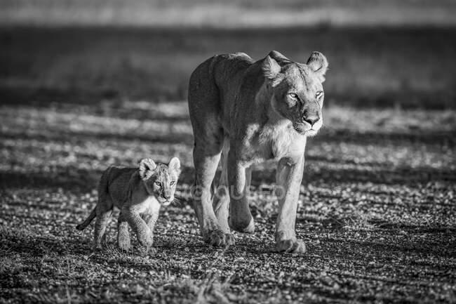 Львица (Panthera leo), идущая по взлетно-посадочной полосе рядом со своим маленьким детенышем. Национальный парк Серенгети; Танзания — стоковое фото
