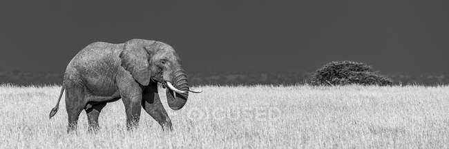 Африканский слон (Loxodonta africana) в саванне, идущий сквозь длинную золотую траву, которая контрастирует с темно-синими грозовыми облаками позади. — стоковое фото