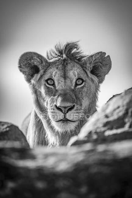 Молодой лев (Panthera leo) просунул голову над скалистым выступом под голубым небом. Национальный парк Серенгети; Танзания — стоковое фото
