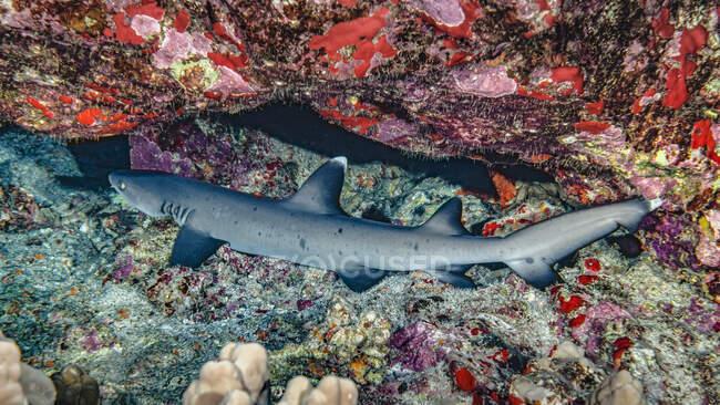 Whitetip Reef Shark (Triaenodon obesus) appoggiato sotto uno strapiombo sul retro di Molokini. Questo si trova al largo di Maui. Il nome hawaiano è Mano lalakea; Maui, Hawaii, Stati Uniti d'America — Foto stock