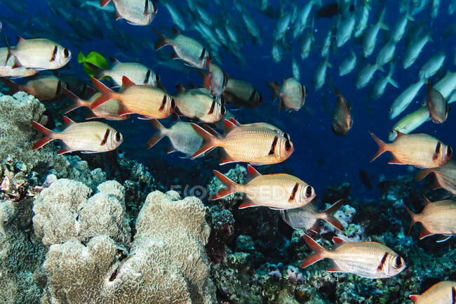 Pearly Soldierfish (Myripristis kuntee) schooling near a reef just offshore of Maui; Hawaii, United States of America — Stock Photo