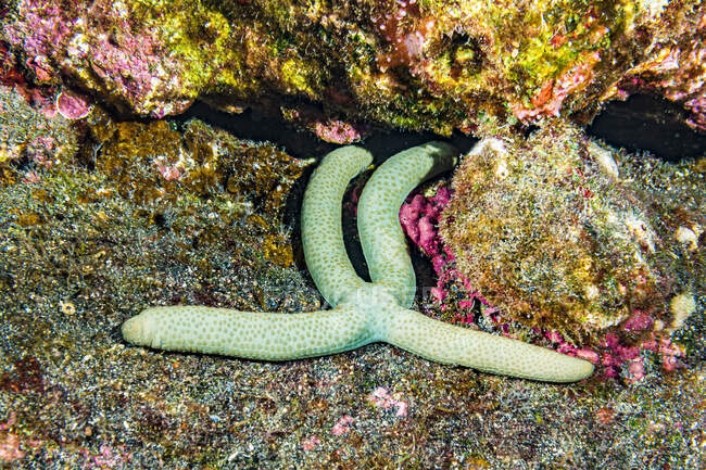 This Green Linckia (Linckia guildingi) starfish or sea star is unusual in that it has four rather than the normal five arms. It is resting on a volcanic rock ledge located off the Kona coast, the Big Island, Hawaii, USA. Near to it is pink coloured c — Stock Photo